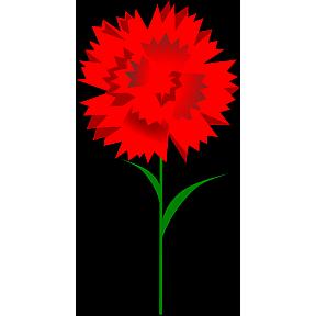 Rote Nelke